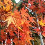 圓光寺の橙紅葉
