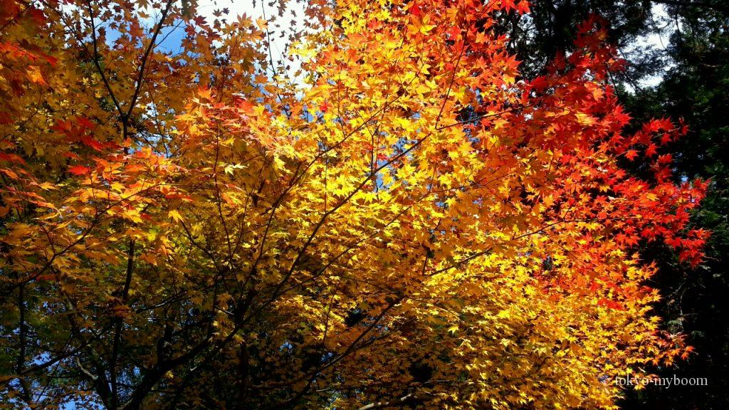 圓光寺の黄色い紅葉