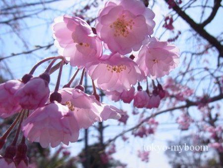 桜京都お花見おすすめスポット