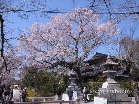 哲学の道の桜3