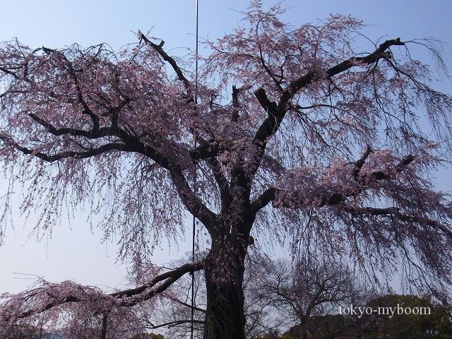 京都桜一人旅