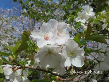 京都の白い桜