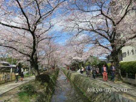 哲学の道の桜1