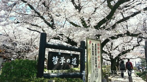 哲学の道桜開花状況