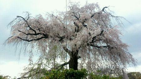 円山公園の枝垂桜2
