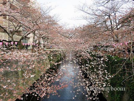 目黒川桜レポート開花予想日