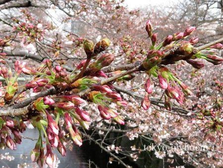 目黒川桜つぼみ