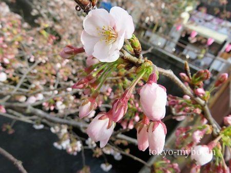 目黒川の桜アップ3