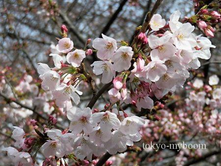 目黒川桜アップ2
