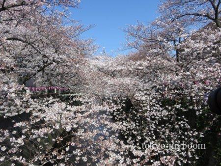目黒川桜時間