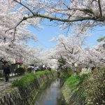 哲学の道桜開花状況猫