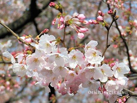 東京桜の名所ランキング