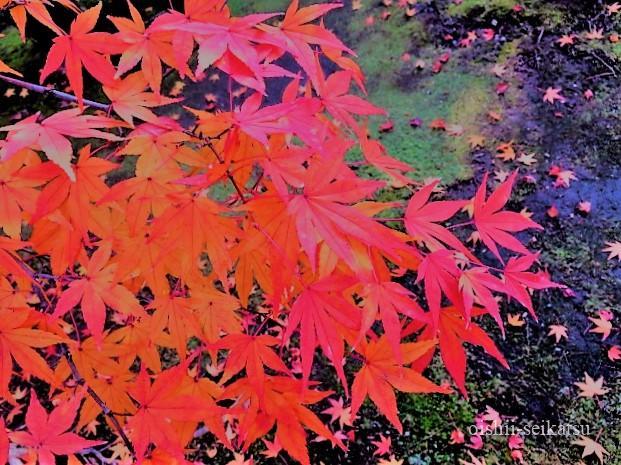 京都紅葉見頃時期