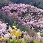 桜開花予想福島県花見山公園