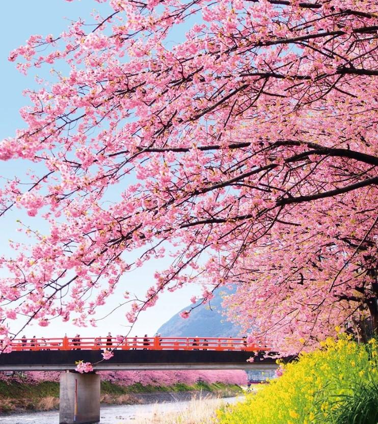 河津桜見頃開花情報