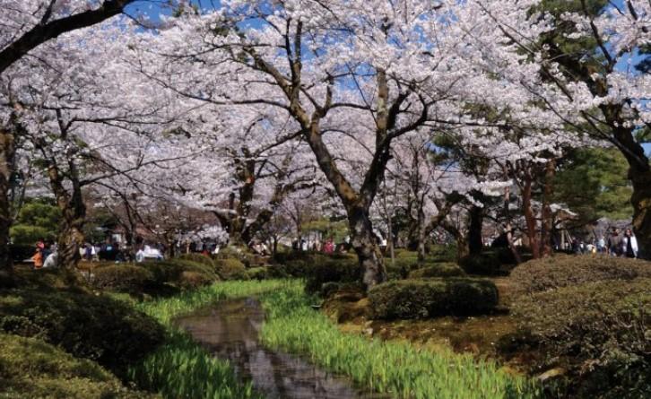 兼六園桜無料開放日