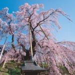 桜開花予想福島県三春滝桜