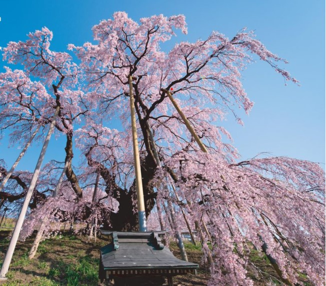 2021 桜の 開花 予想