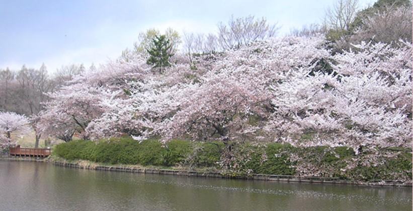 三ツ池公園桜開花状況