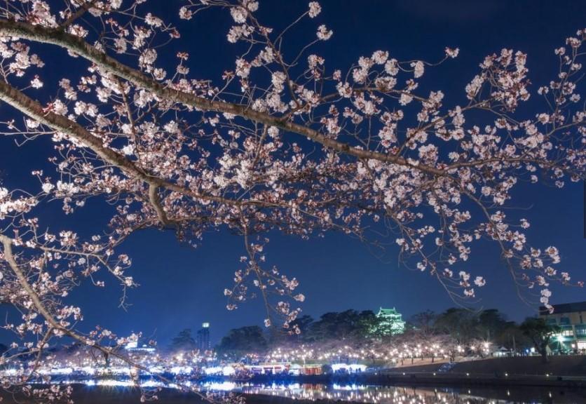 岡崎公園桜開花状況