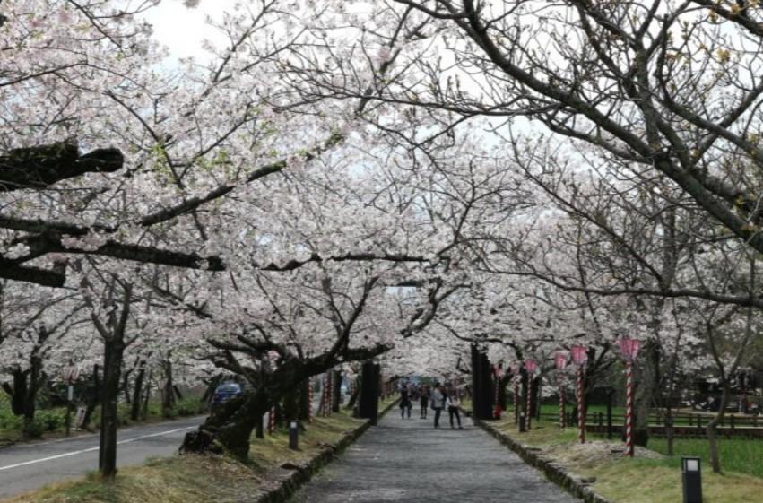 大村公園桜開花状況