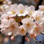 新宿御苑桜開花状況ライトアップ